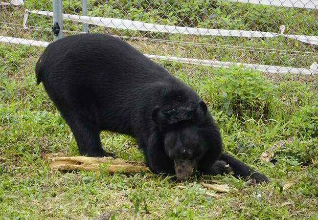 L'ours Ben profitant avec joie de l'enclos extérieur