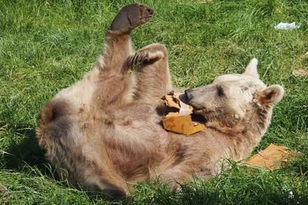Bär Jerry spielt im Gras