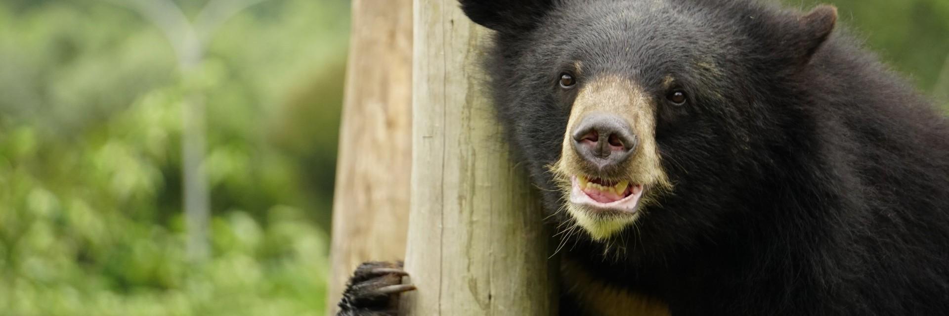 Bear Lac at BEAR SANCTUARY Ninh Binh