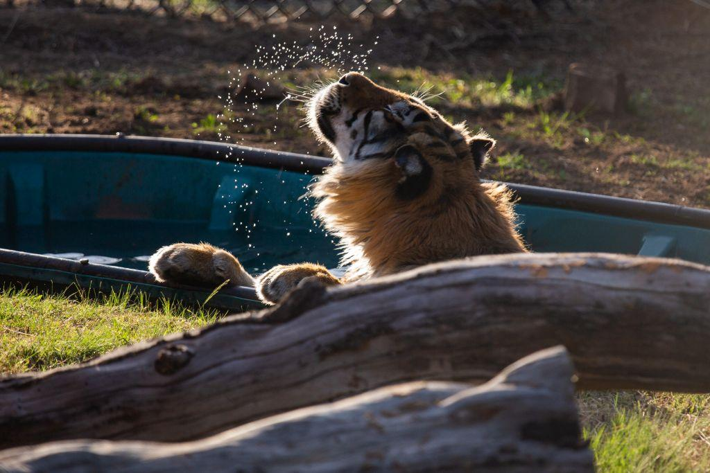 Das erste Bad nach der Reise genießt Tiger Caruso so richtig (c) VIER PFOTEN