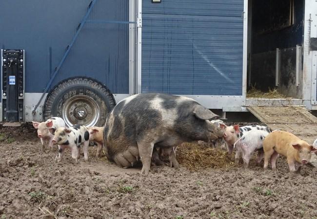 Happy pig family