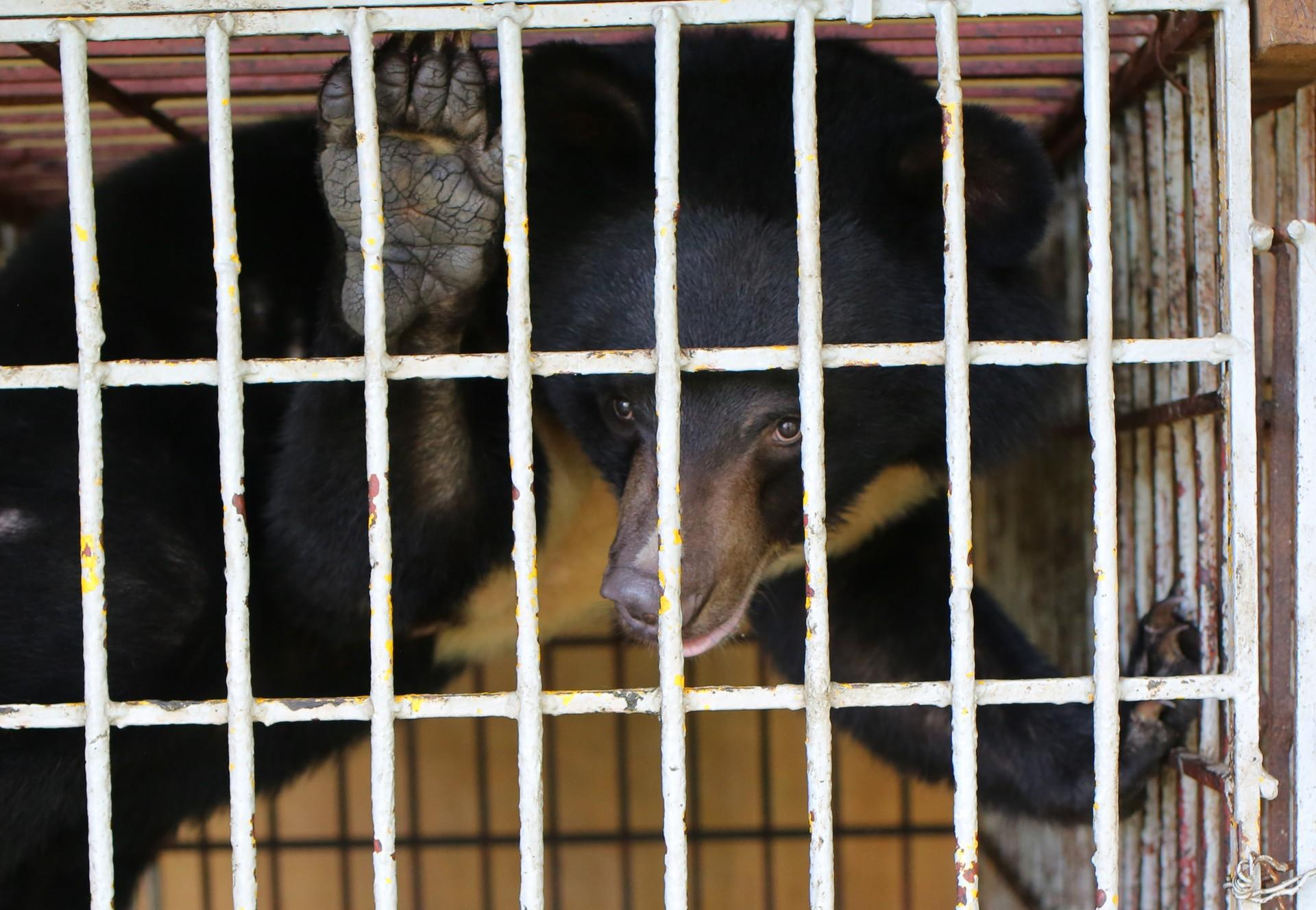 Bile bear Cam caged in a bile bear farm