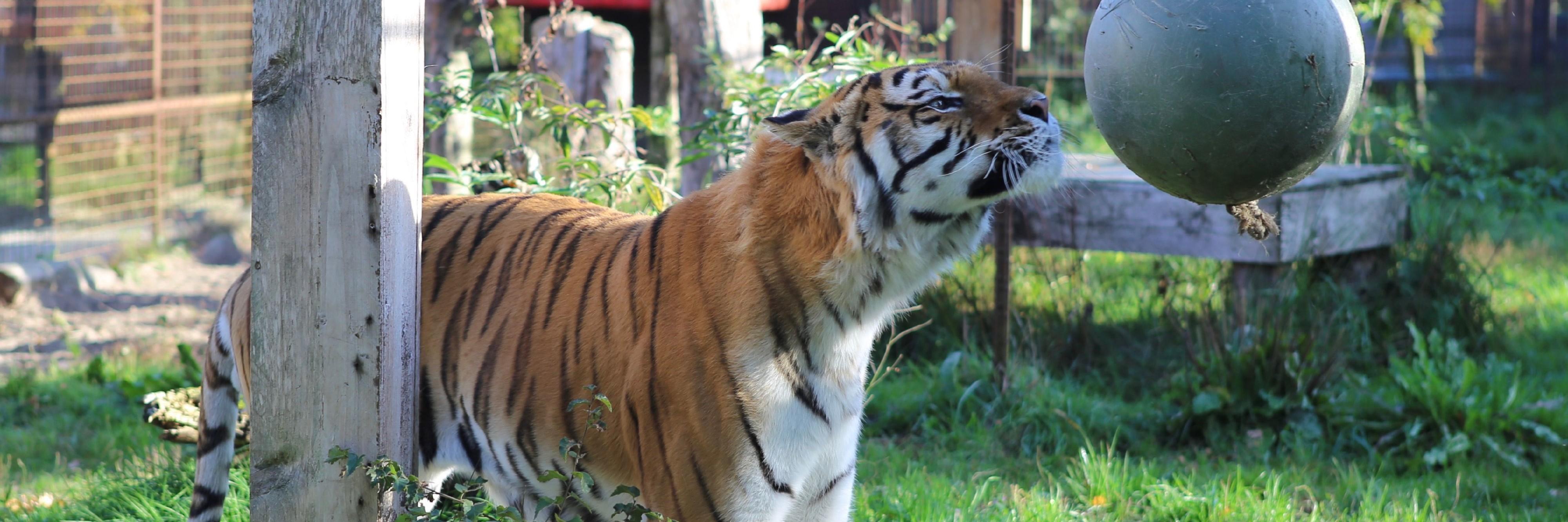 Tiger Caruso with enrichment