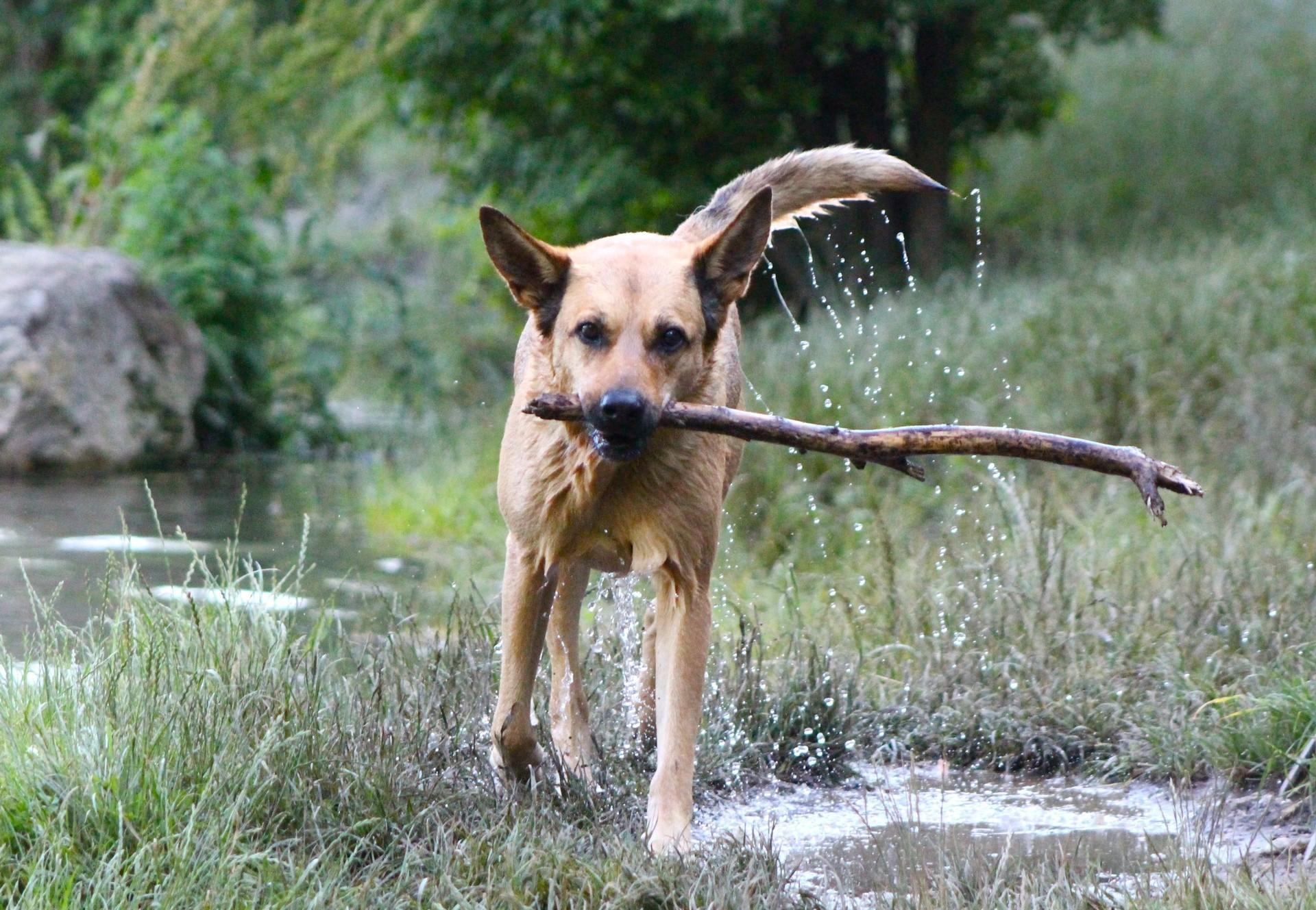 Hund mit Stock spielt auf einer Wiese am Bach