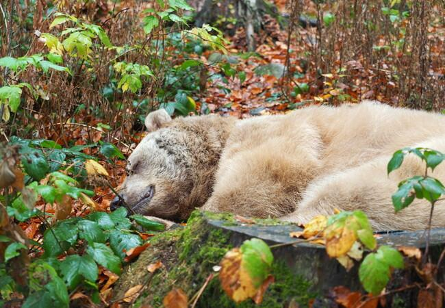 Bear Vinzenz sleeping at BEAR SANCTUARY Arbesbach