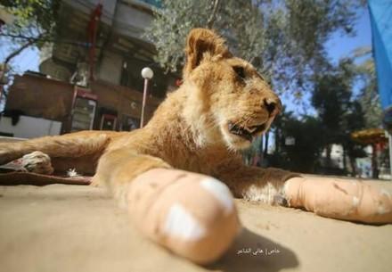 Löwin in Zoo in Gaza (c) Hassan Aslih