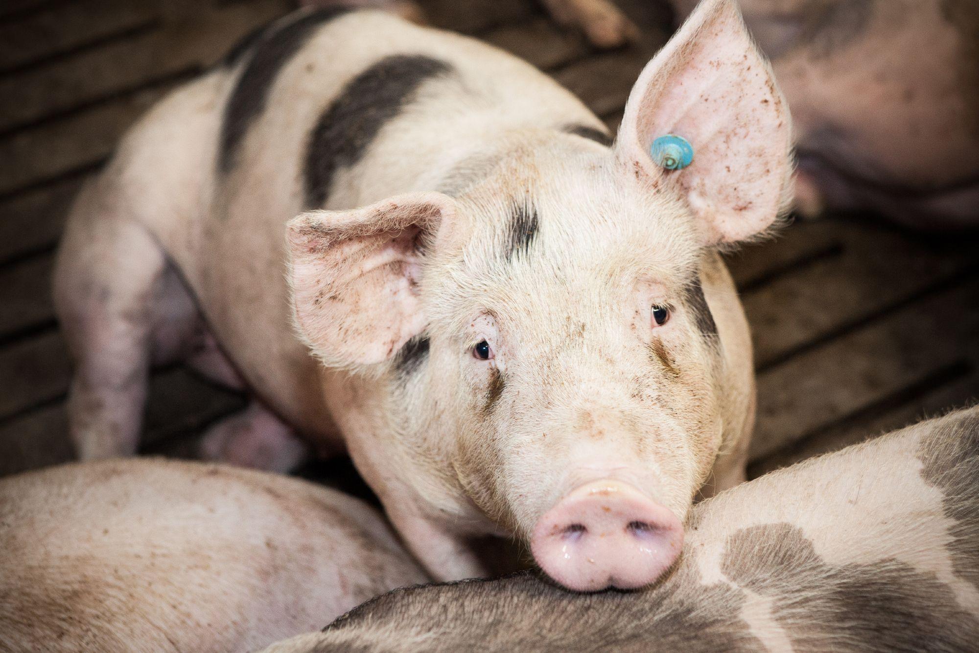 Schweine leiden auf Vollspaltböden.