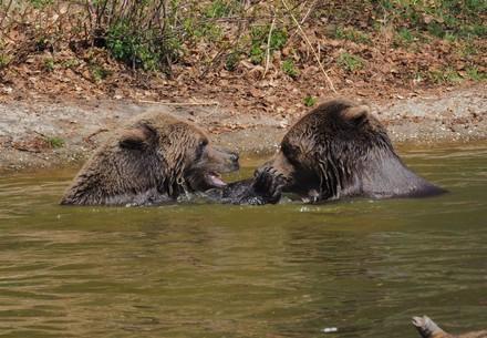 Die beiden Braunbären Emma und Erich spielen im Teich.