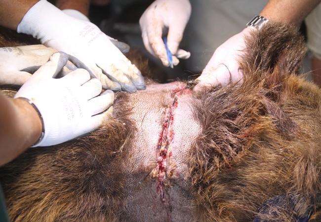 Die Kette war in Pashuks Hals eingebettet.