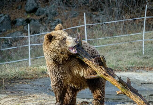 Bear Teddy playing with a log