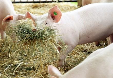 Schwein mit Stroh
