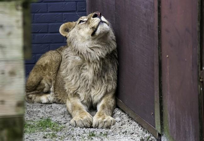 Le lion Ivan-Asen à FELIDA en 2018