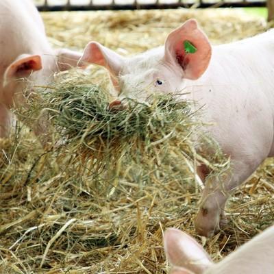 Schweine mit Stroh und Heu