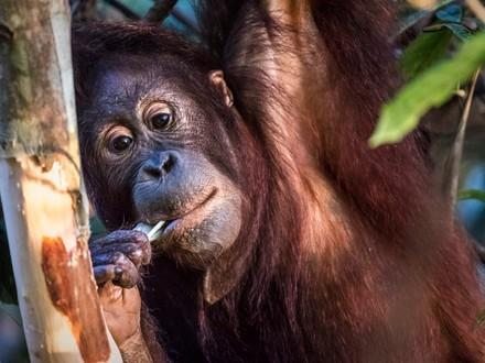 Orang-Utan Eska in der Waldschule Borneo