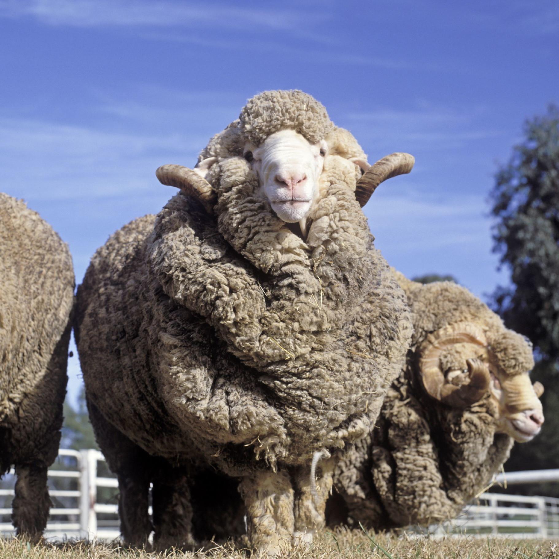 Schafe werden mit unnatürlichen Hautfalten gezüchtet