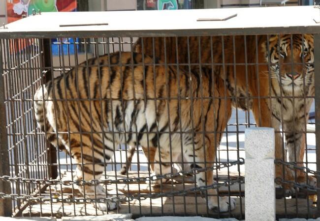 Zwei Tiger in einem kleinen Käfig eingesperrt