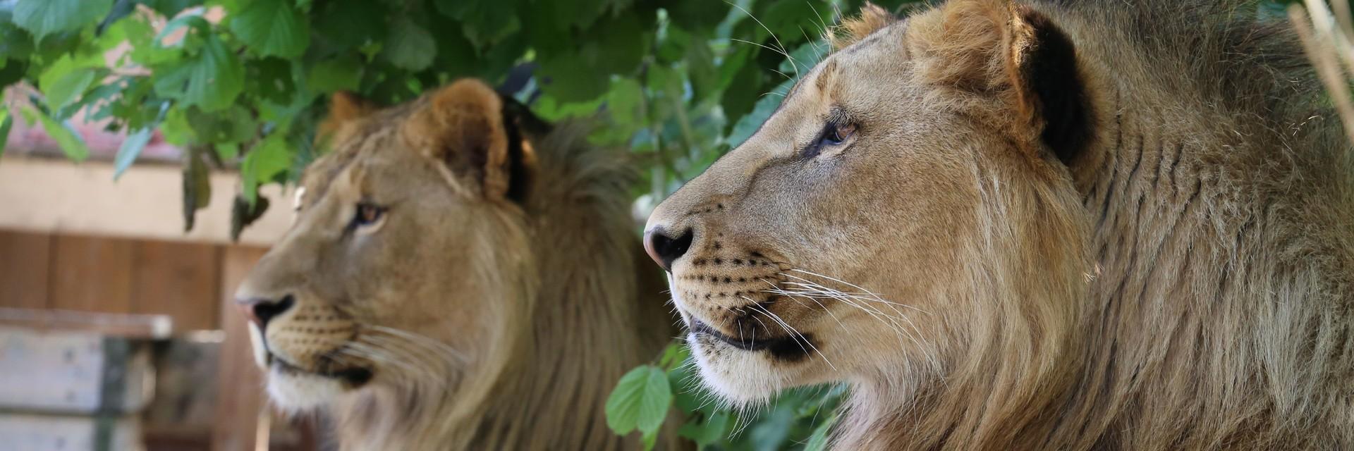 Lions Masoud & Terez