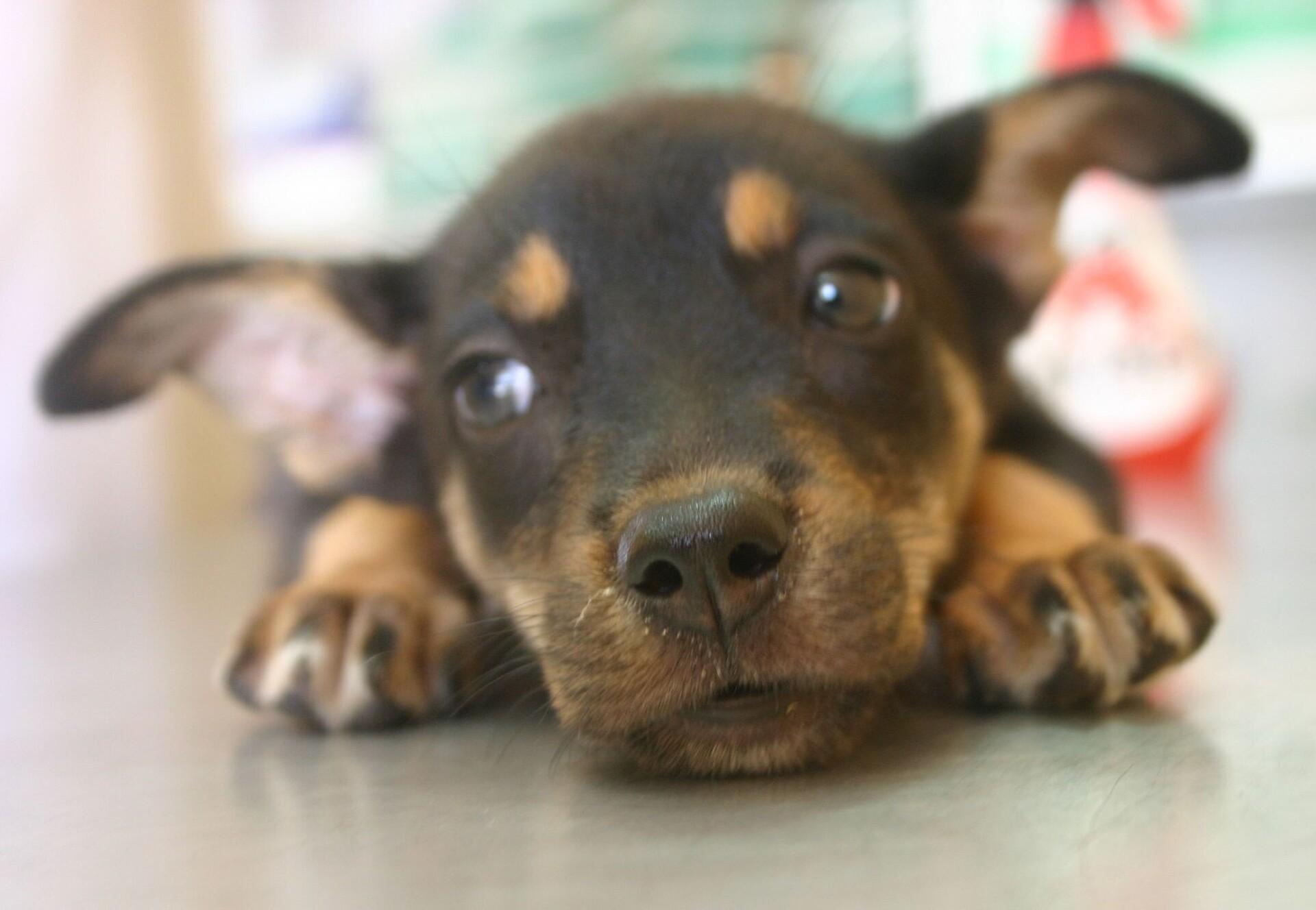 Schwarzer Labrador schaut in die Kamera
