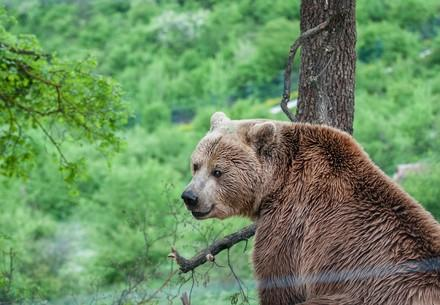 Brown Bear Ero sitting