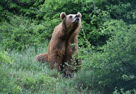 bear-forest