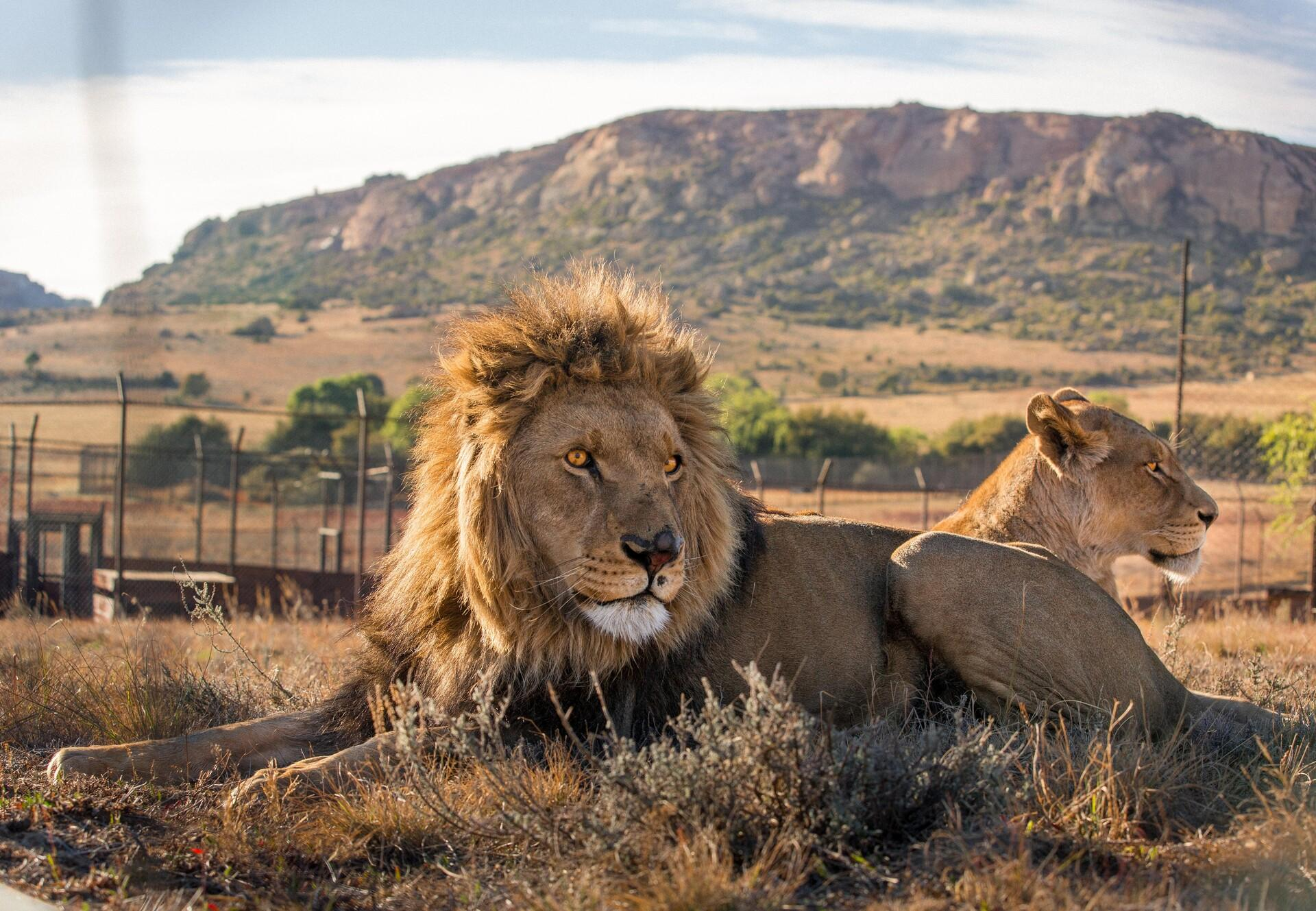 Big Cat Sanctuary LIONSROCK
