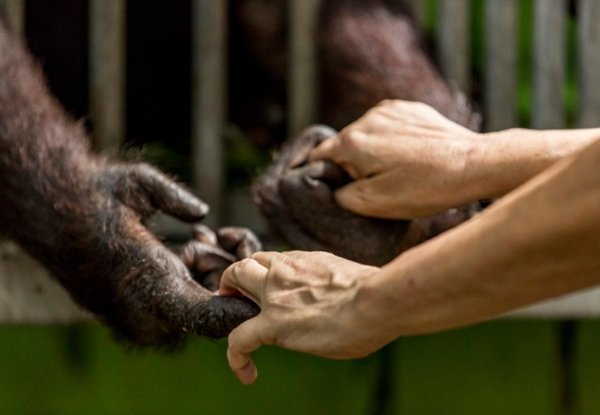 FOUR PAWS Opens Orangutan FOREST SCHOOL in Borneo - Press