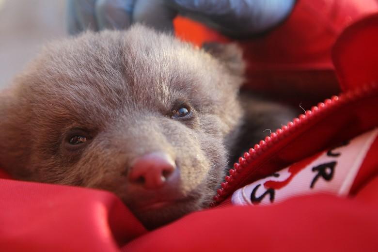 Der kleine Bär braucht dringend professionelle Pflege (c) VIER PFOTEN | Hazir Reka