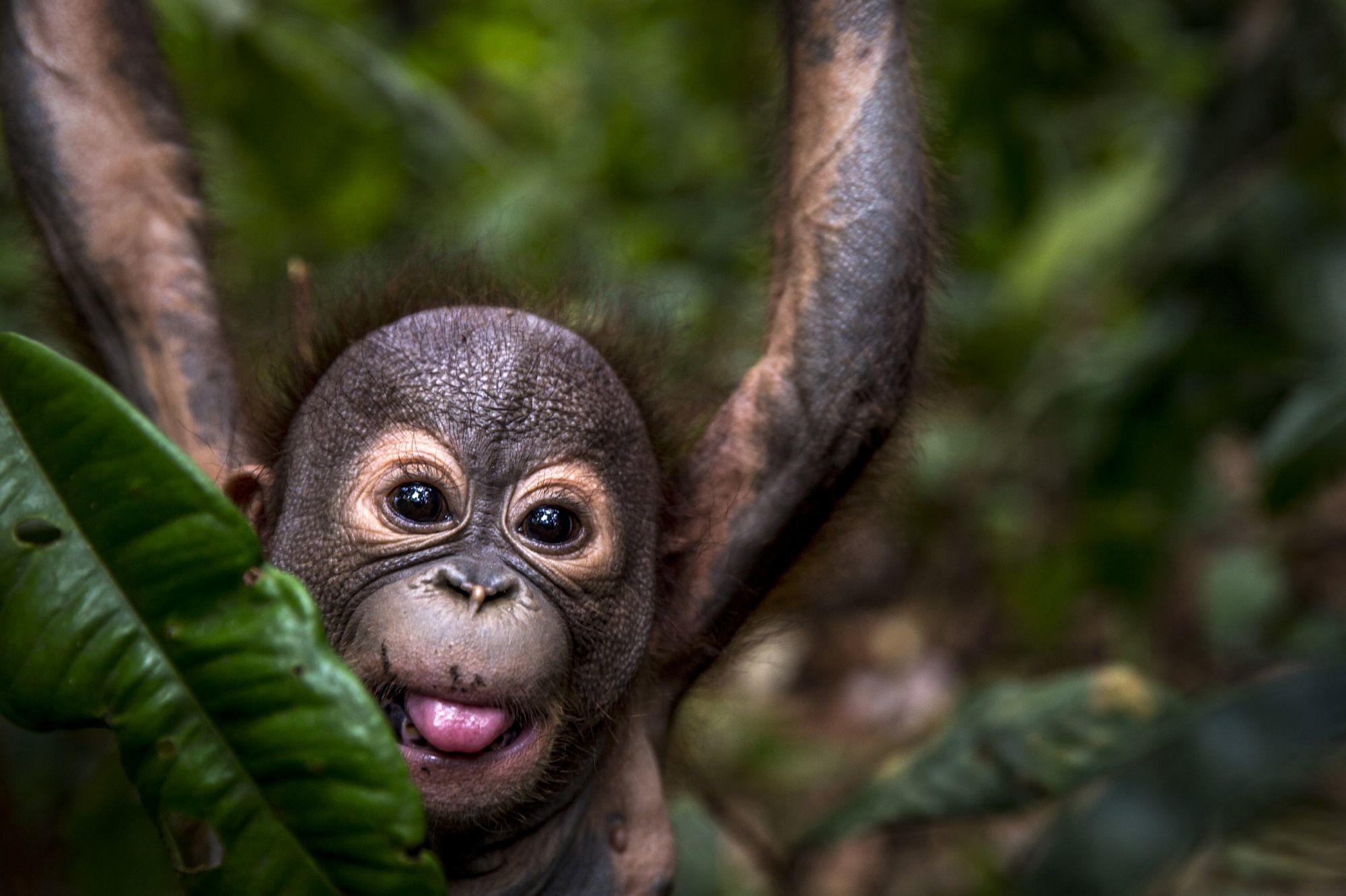 Orang-Utan Gerhana hält sich an einem Ast fest