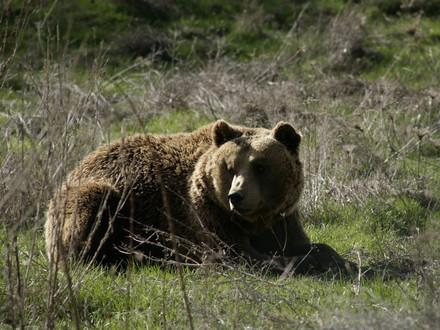 Bear Mal