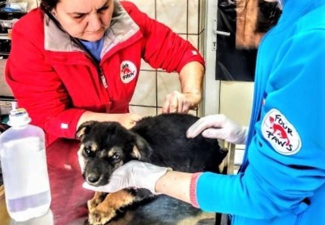 Hund Gor wird in Rumänien behandlet