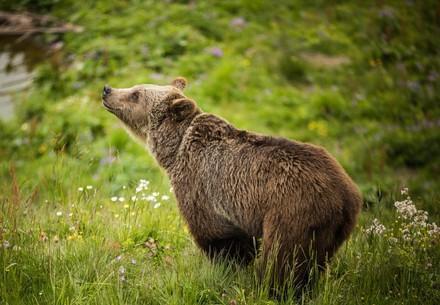 Bear Amelia at Arosa