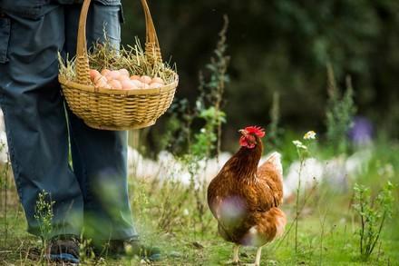 Huhn in Freilandhaltung