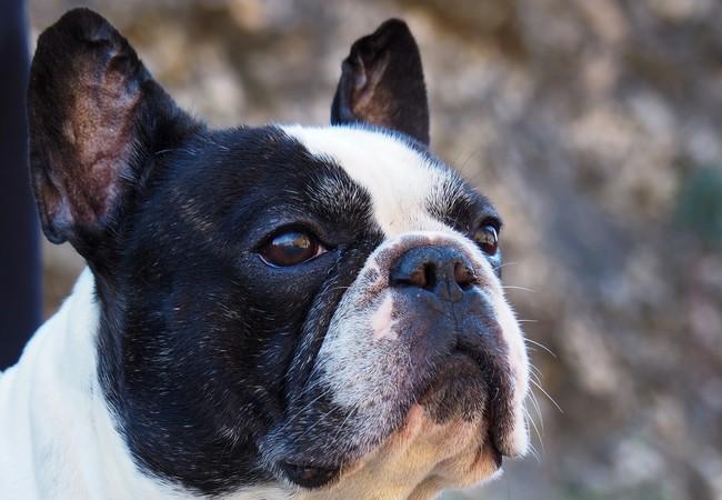 Kopf einer schwarz-weissen Französische Bulldogge