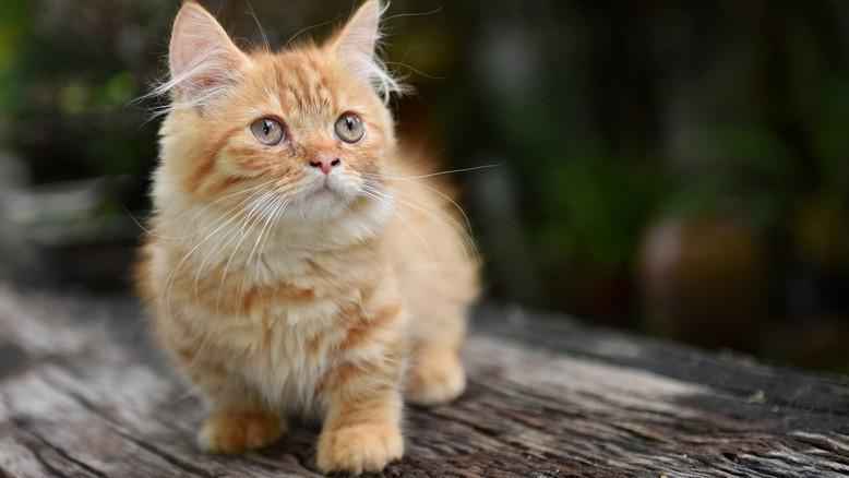 Munchkin Katze