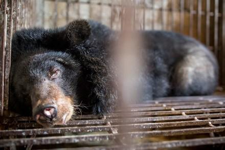 Bile bear in a small cage