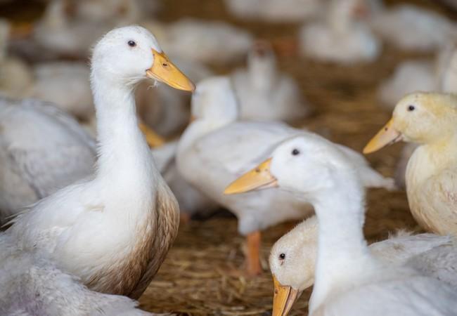 Im Stall haben die Enten eingestreute Liegeflächen
