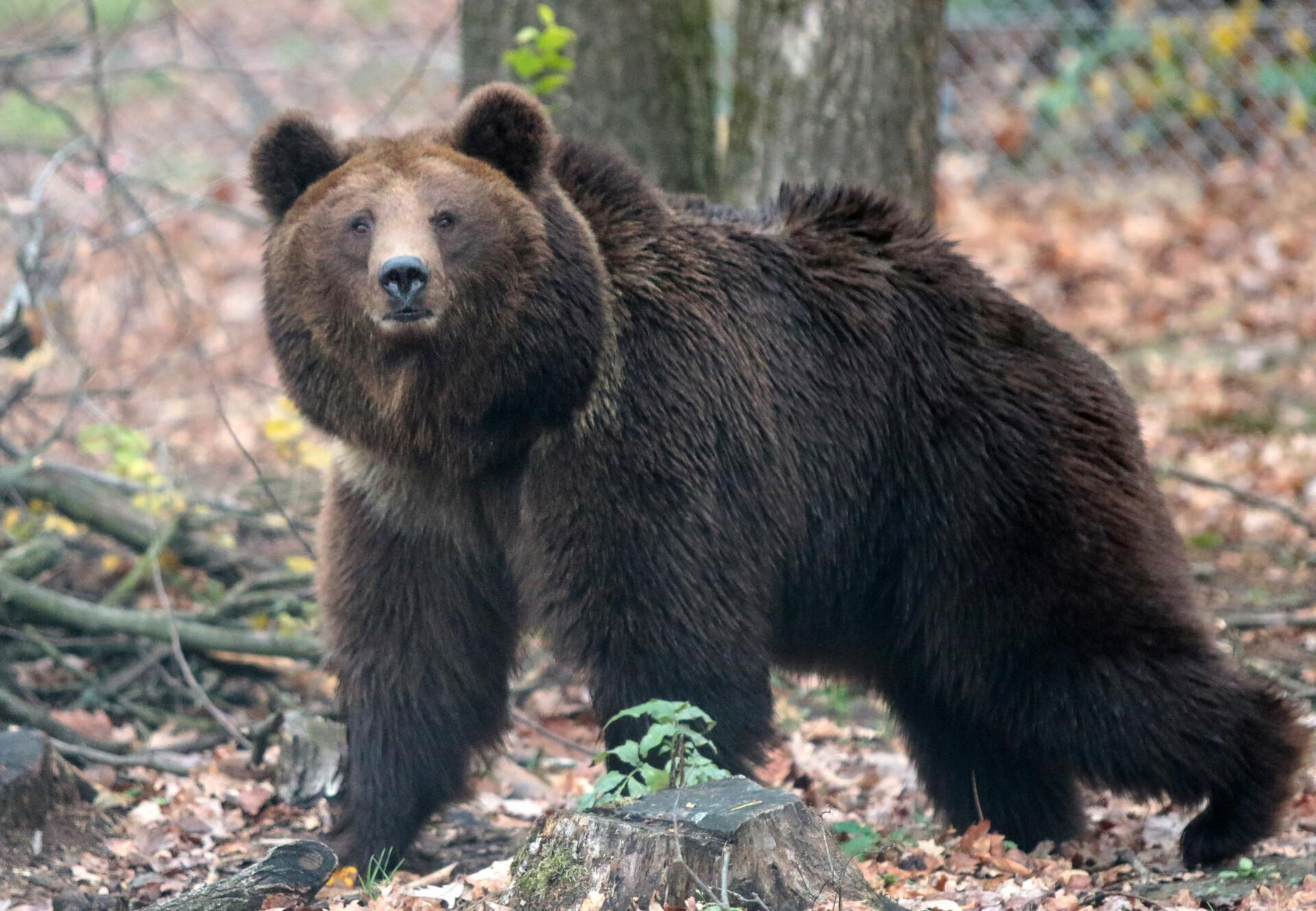 Bear looks surprised