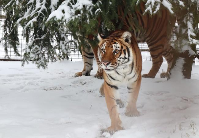 Tijgerin Dehli in de sneeuw