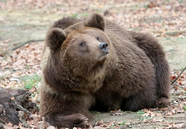 Bear Dasha