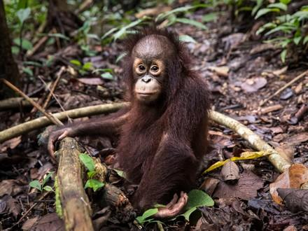 Orangatan in Borneo
