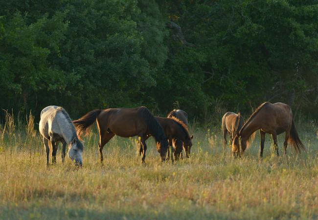 Horses at sunset in the Danube Delta
