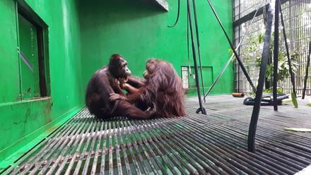 L'orang-outan Amalia