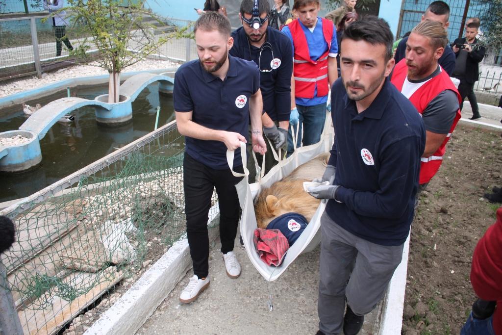 Löwe Lenci wird in die Transportbox geladen (c) VIER PFOTEN