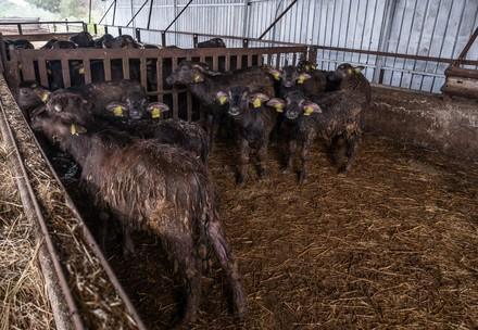Büffel in Italien (c) VIER PFOTEN