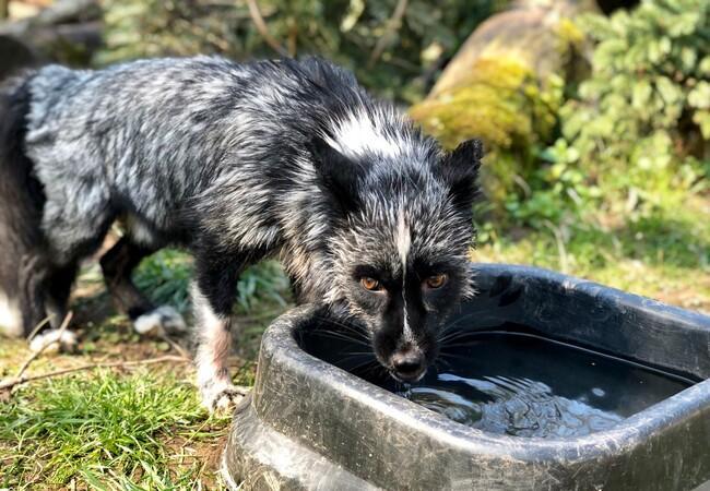 Silberfuchs Jackson trinkt frisches Wasser