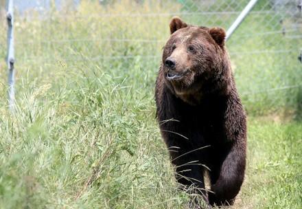 Happy brown bear