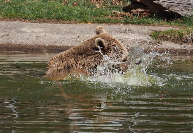 Bär Vinzenz hat seine Freude im Wasser