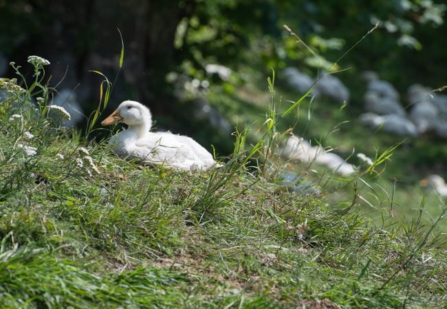 """Auf dem """"Tierschutz-kontrolliert""""-Hof haben die Enten viel Platz"""