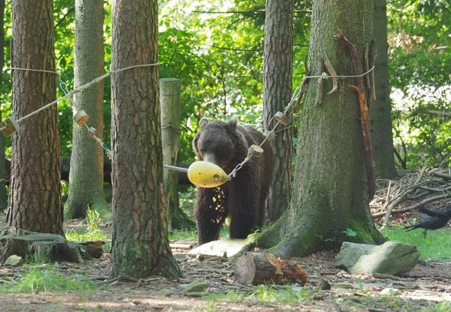 Bear Erich searching for treats in an enrichment object
