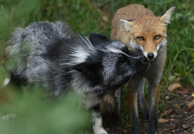 Füchse Jackson und Porthos